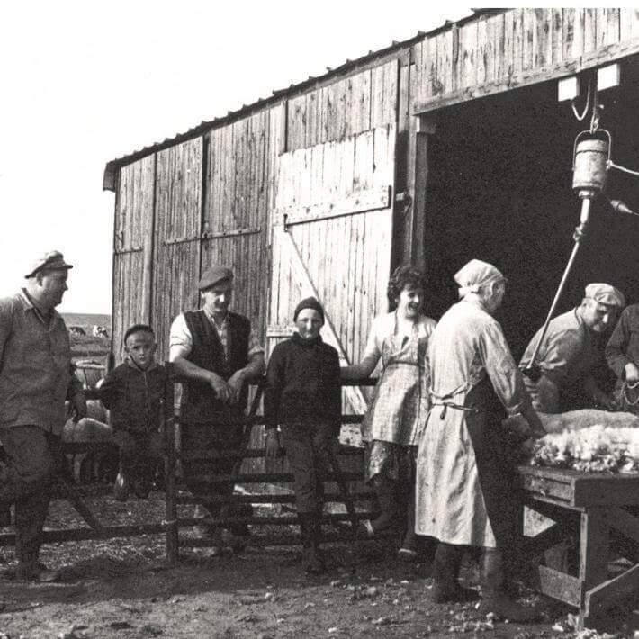 Schafschur auf dem Hardenhof um 1968